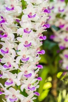 Image de macro d'orchidée blanche et pourpre, rhynchostylis gigantea.