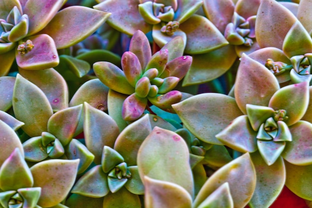 Image macro de plantes succulentes.