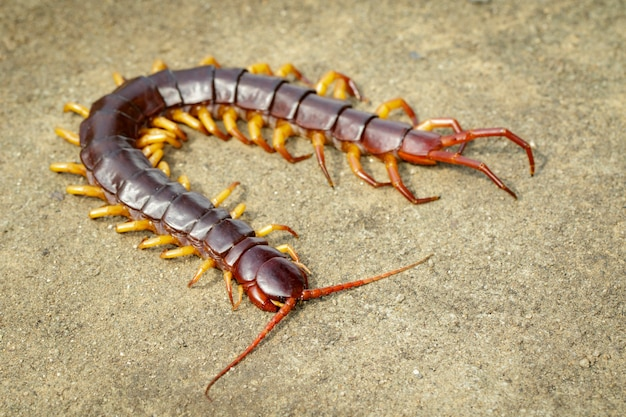 Image de mille-pattes ou chilopodes au sol. animal. animaux vénéneux.