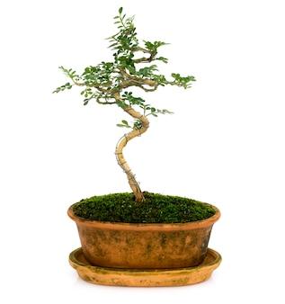 Image de mini bonsaï dans l'arbre en pot sur blanc