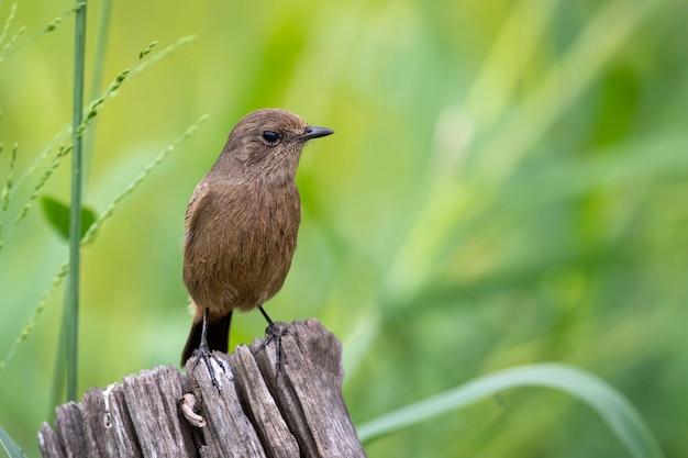 Image de moucherolle brun asiatique (muscicapa dauurica) sur souche sur fond de nature. oiseau. animaux.