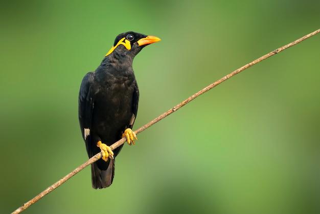 Image de l'oiseau myna des collines communes (gracula religiosa intermedia) sur fond de nature. oiseau. animaux.