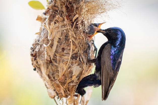 Image d'oiseau de soleil violet nourrir bébé oiseau dans le nid d'oiseau. oiseau.