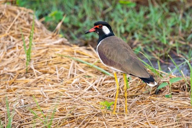 Image d'oiseau vanneau caronculé rouge (vanellus indicus) sur la nature.