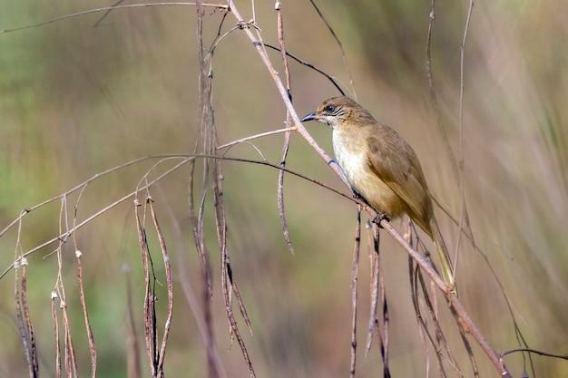 Image d'oiseaux bulbul à oreilles striées sur la nature. (pycnonotus blanfordi)