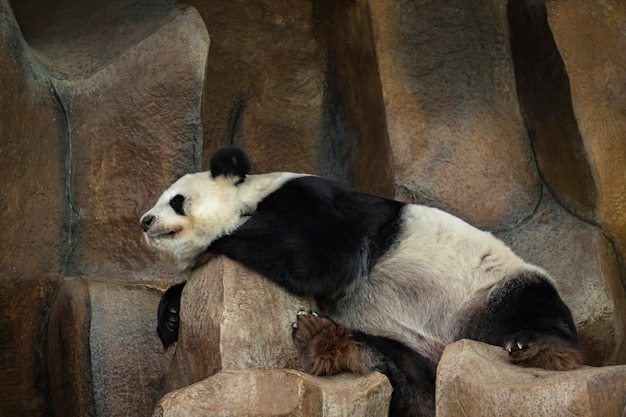 L'image d'un panda dort sur les rochers.