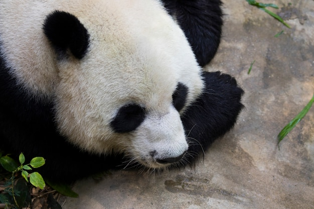Image d'un panda sur la nature. animaux sauvages.