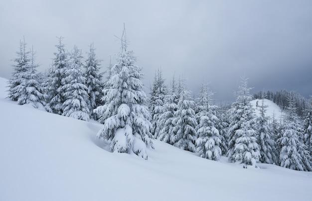 Image panoramique de l'arbre des épicéas. jour glacial, scène hivernale calme. lieu carpates, ukraine europe. station de ski. superbe image de zone sauvage. explorez la beauté de la terre. tourisme . bonne année