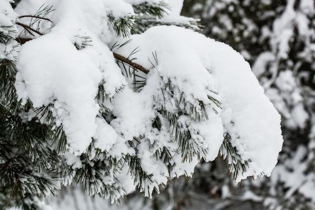 Image panoramique d'épinettes le jour glacial de l'hiver calme. belle photo de la région sauvage. explorez la beauté de la terre