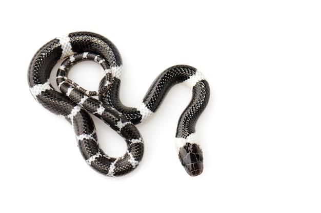 Image de petit serpent (lycodon laoensis)., reptile ,. animaux