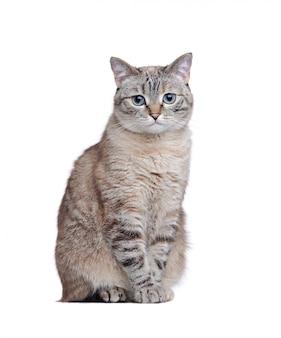 Image pleine longueur d'un chat gris assis