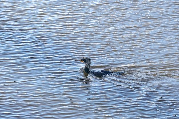 Image portrait lumineux de phalacrocorax carbo, grand cormoran, grand cormoran noir