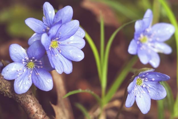 Image de printemps naturel bleu perce-neige fleur hepatica