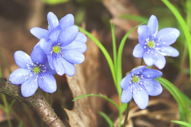 Image de printemps rural bleu hepatica fleur perce-neige