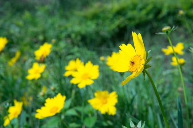 Image subtile de fleur sauvage de printemps jaune dans le jardin avec une fleur se démarquer
