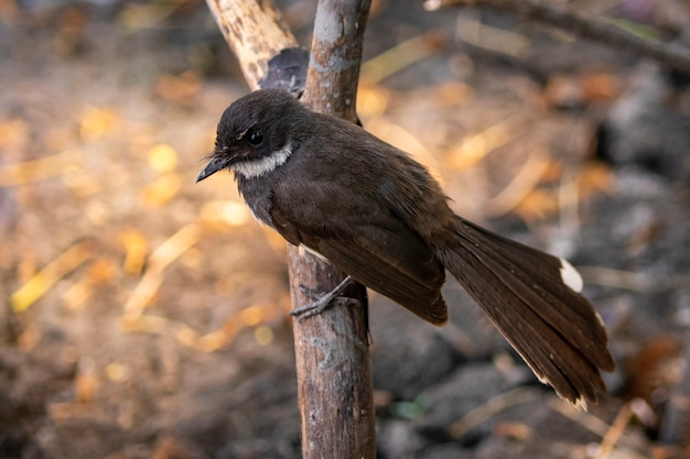 Image de sunda pied fantail ou piedail malaisien (rhipidura javanica). oiseau. animaux.