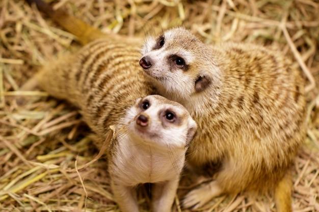 Image de suricate (suricata suricatta) sur la nature. animaux sauvages.