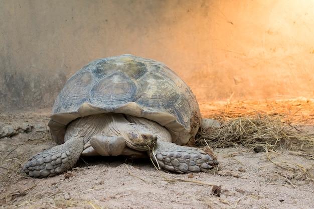 Image d'une tortue au sol. (geochelone sulcata) reptile.