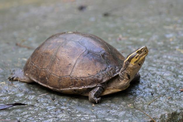 Image d'une tortue de poulet orientale en thaïlande