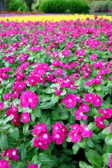 Image verticale du champ de pervenche du cap rose vif dans le parc