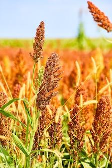 Image de la verticale des grains de millet et de sorgho pour agriculteurs intelligents