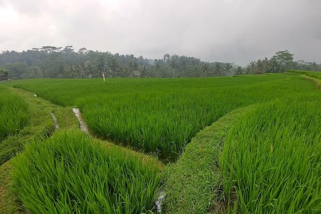 Immenses rizières vertes et terrasses bali ubud sentiers pédestres saison des pluies jungles nuageux