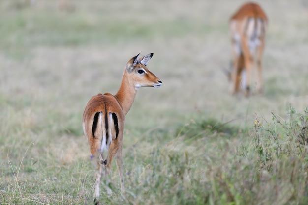 Impala sur savane dans le parc national de l'afrique, kenya