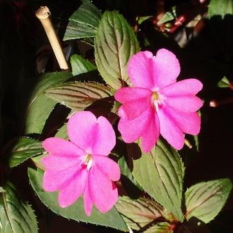 Impatiens fleur de nouvelle-guinée