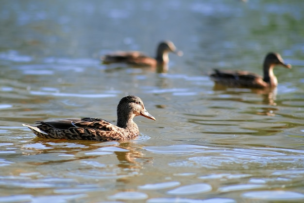 Un incroyable canards colverts nagent dans un lac