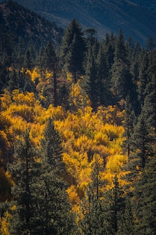 Incroyable coup d'arbres à feuilles jaunes et de pins sous la lumière du soleil