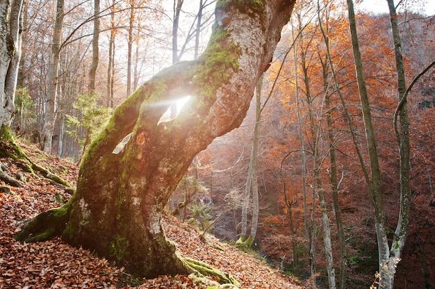 Incroyable coup de trou du soleil de la lumière du soleil d'arbre de mousse. soleil briller arbres