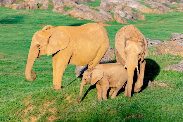 Incroyable famille d'éléphants. maman, papa et le fils