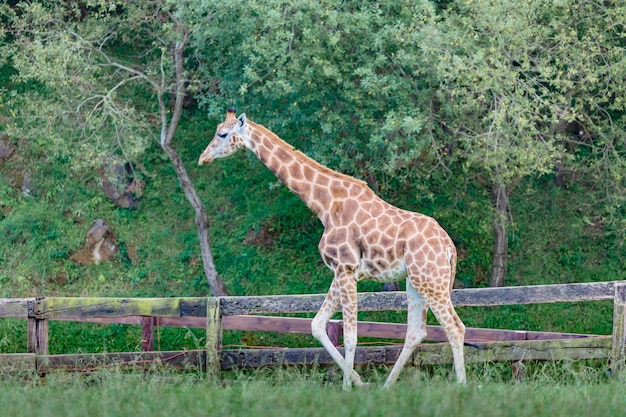 Incroyable grande girafe