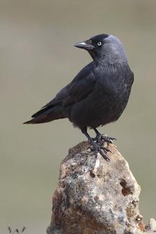 Incroyable gros plan de mise au point sélective tourné d'un corbeau américain
