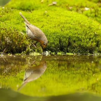 Incroyable photo d'un mignon rouge-gorge buvant de l'eau d'un étang