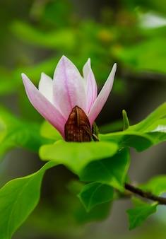 Incroyable rose fleur de magnolia, vue rapprochée de fleurs épanouies un jour de printemps représente parfaitement fleur de magnolia, printemps, journée ensoleillée.
