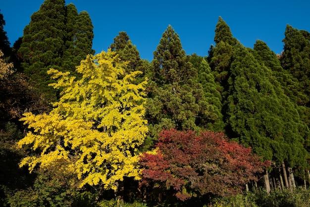 Incroyable trois types d'arbres colorés ginkgo biloba conifères érable japonais ciel bleu