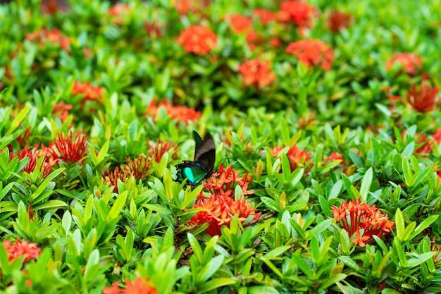 Incroyablement beau jour tropical papillon papilio maackii pollinise les fleurs. le papillon noir-vert boit du nectar de fleurs. couleurs et beauté de la nature