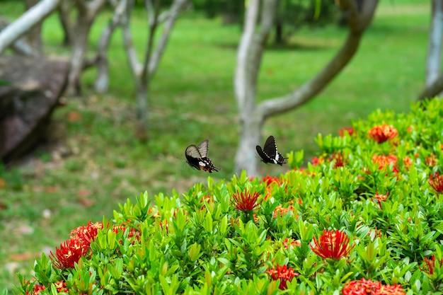 Incroyablement belle journée papillon tropical papilio maackii pollinise les fleurs. le papillon noir-blanc boit le nectar des fleurs. couleurs et beauté de la nature.