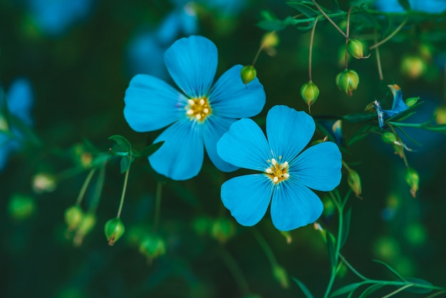 Incroyables fleurs cyan lumineuses de lin qui fleurit sur fond vert