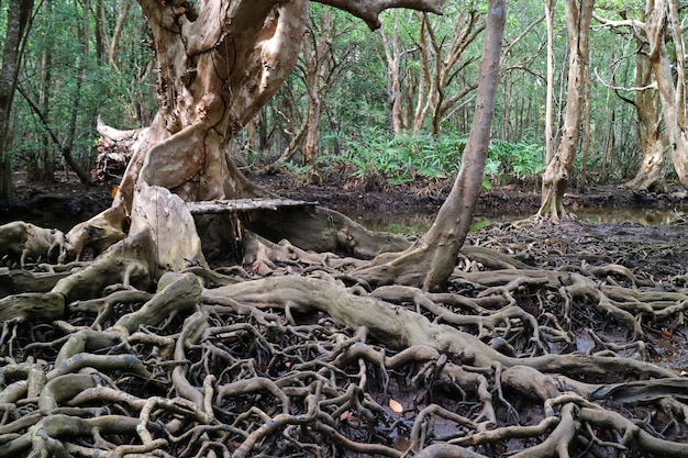 Incroyables racines d'arbres dans la forêt de mangroves, province de trat en thaïlande