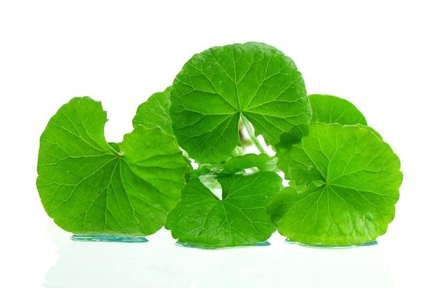 Indien pennywort cerveau tonique plante à base de plantes.