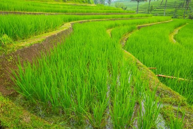 Indonésie. jour nuageux sur l'île de java. rizières en terrasses et jeunes pousses