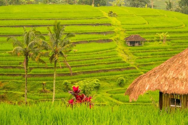 Indonésie. terrasses du soir des rizières. cabanes, palmiers et fleurs lumineuses