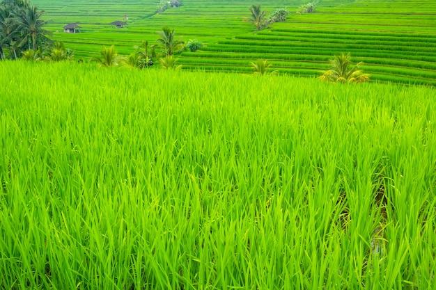 Indonésie. terrasses du soir des rizières. cabanes et palmiers