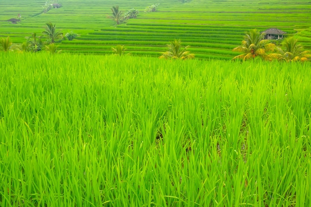 Indonésie. terrasses de rizières avec un jeune porcelet. cabanes et palmiers