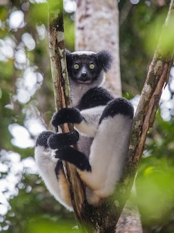 Indri est assis sur un arbre sous la pluie. madagascar. parc national de mantadia.