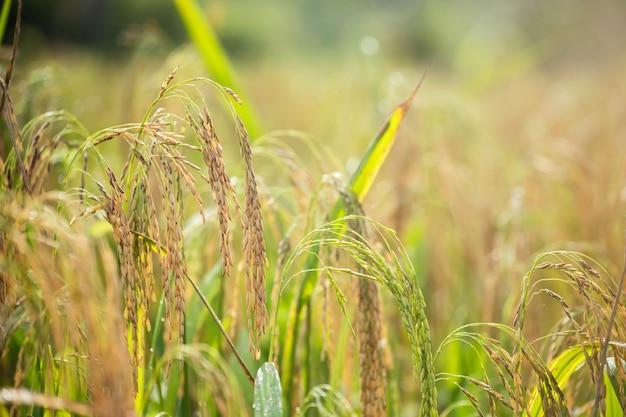 Industrie agricole de champ de riz paddy au jasmin thaïlandais