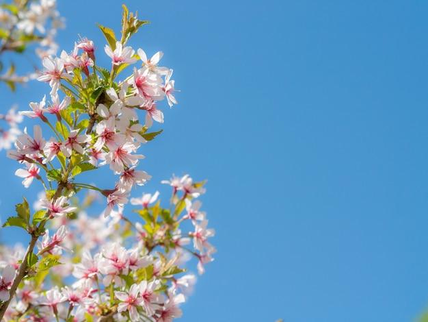 Inflorescence une belle fleur blanche de sakura sur les branches