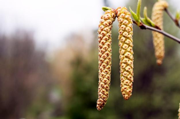 Inflorescence de bouleau en fleurs gros plan un jour de printemps
